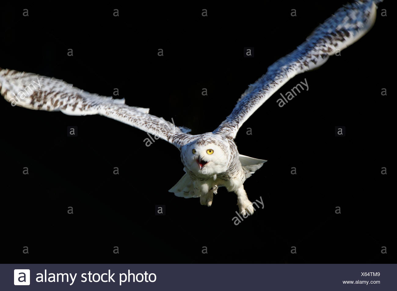 flying,bird of prey,siberian eagle owl - Stock Image