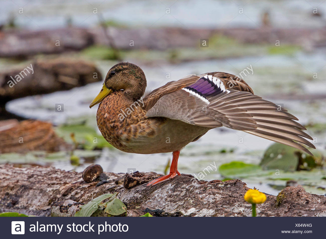 mallard (Anas platyrhynchos), female showing the characteristic wing colours, Germany, Bavaria, Lake Chiemsee - Stock Image