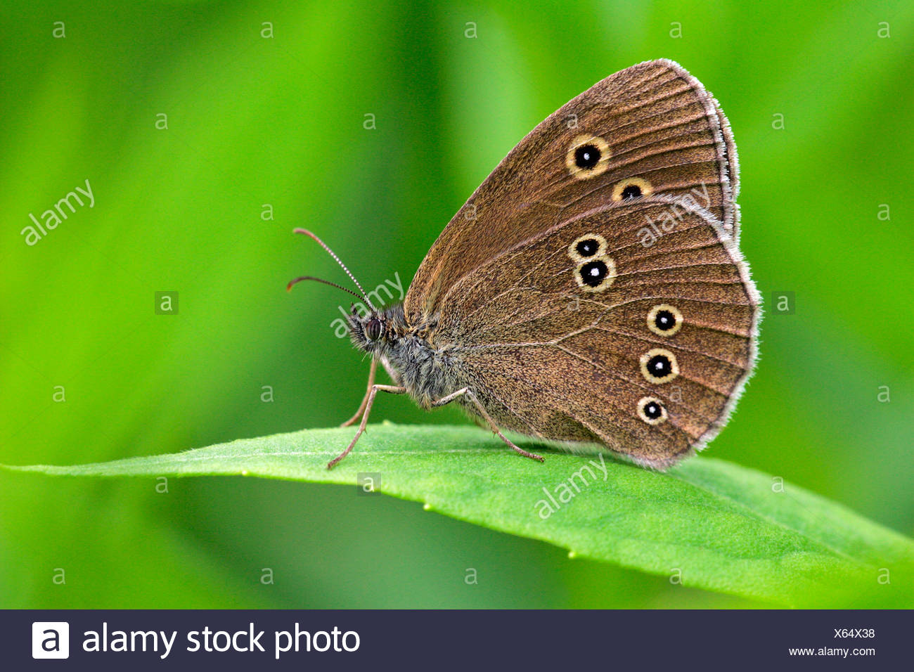 Ringlet sitting on a leaf - butterfly (Aphantopus hyperanthus) - Stock Image