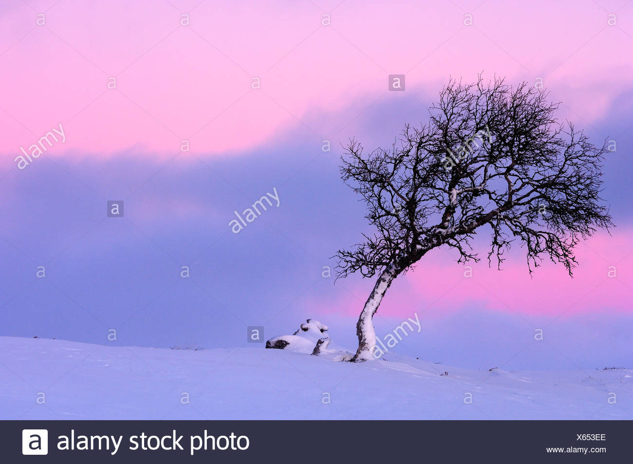 Scandinavia, Sweden, Dalarna, View of birch tree on winter landscape - Stock Image