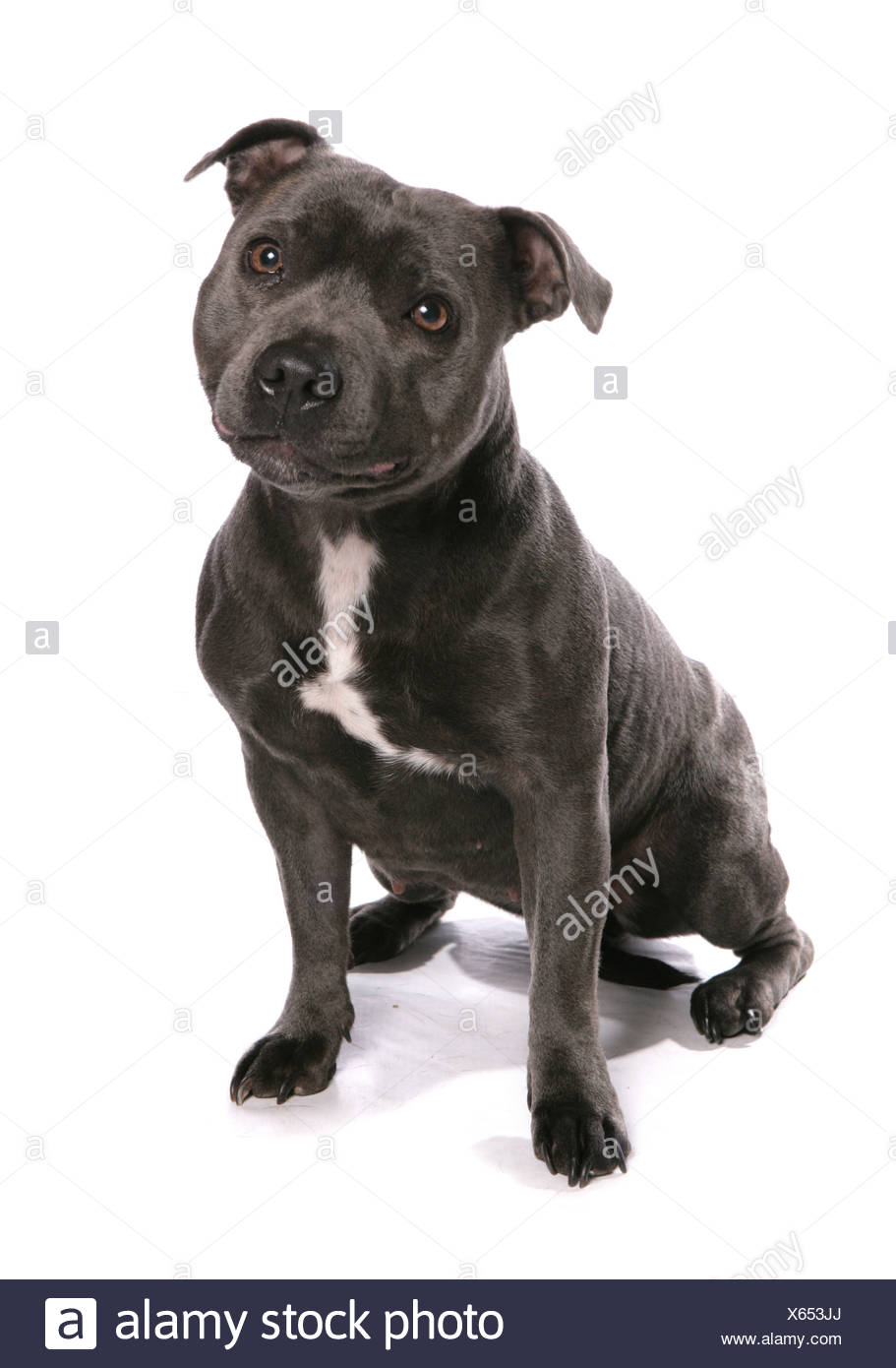 Domestic Dog, Staffordshire Bull Terrier, adult, sitting - Stock Image