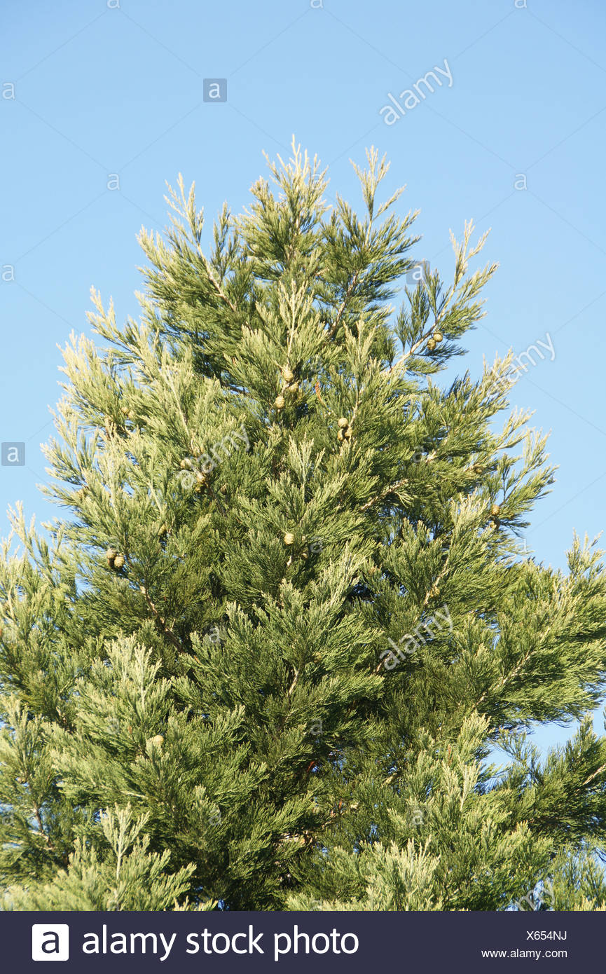 Redwood - Stock Image