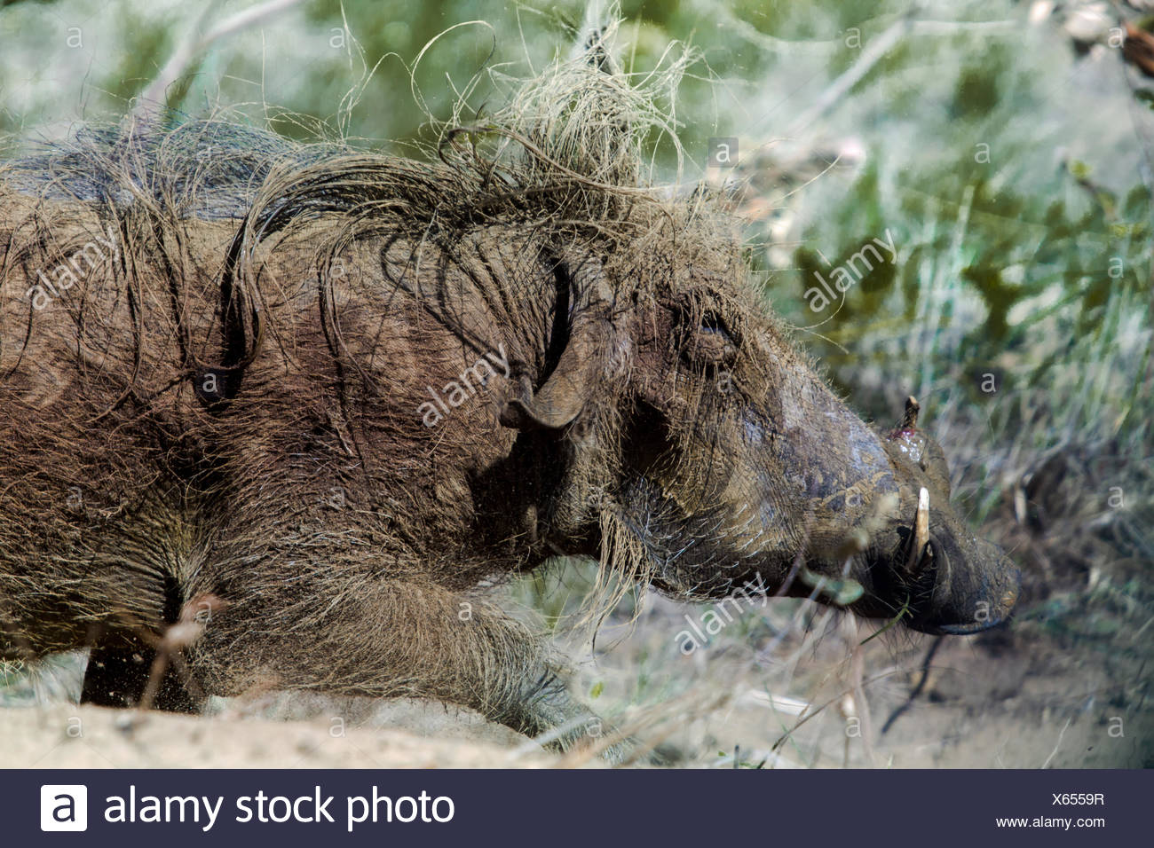 Wild boar in isimangaliso-wetland-park South Africa - Stock Image