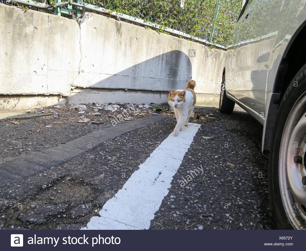 Cat Walking On Road By Parked Car - Stock Image