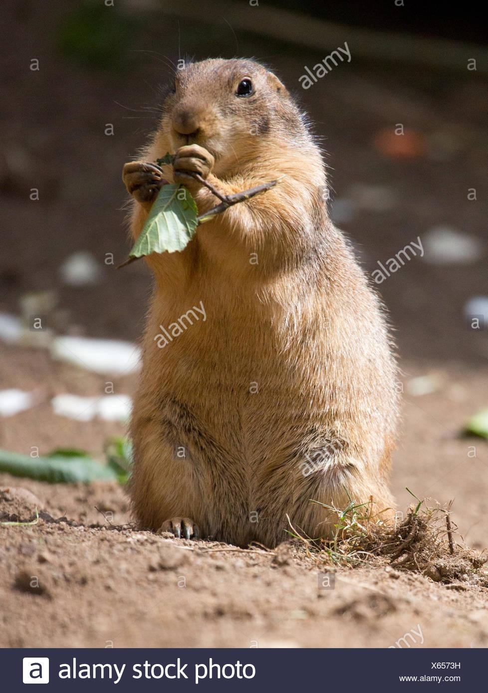 eating prairie dog X6573H