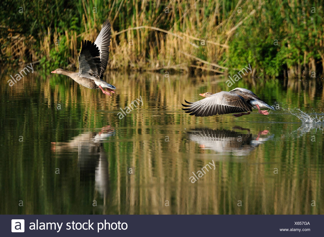 Greylag goose wild goose geese goose water bird water birds wild geese Anser anser greylag geese summers fly animal animals G - Stock Image