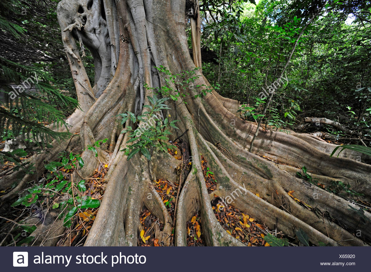 tree roots in rainforest, New Caledonia, Ile des Pins - Stock Image