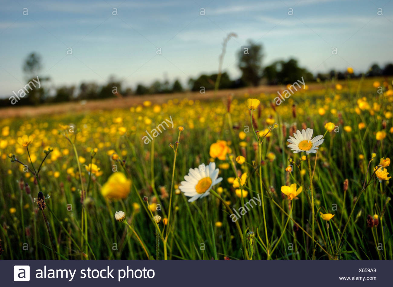 Daisies and buttercups growing in a meadow in Suffolk England Stock Photo