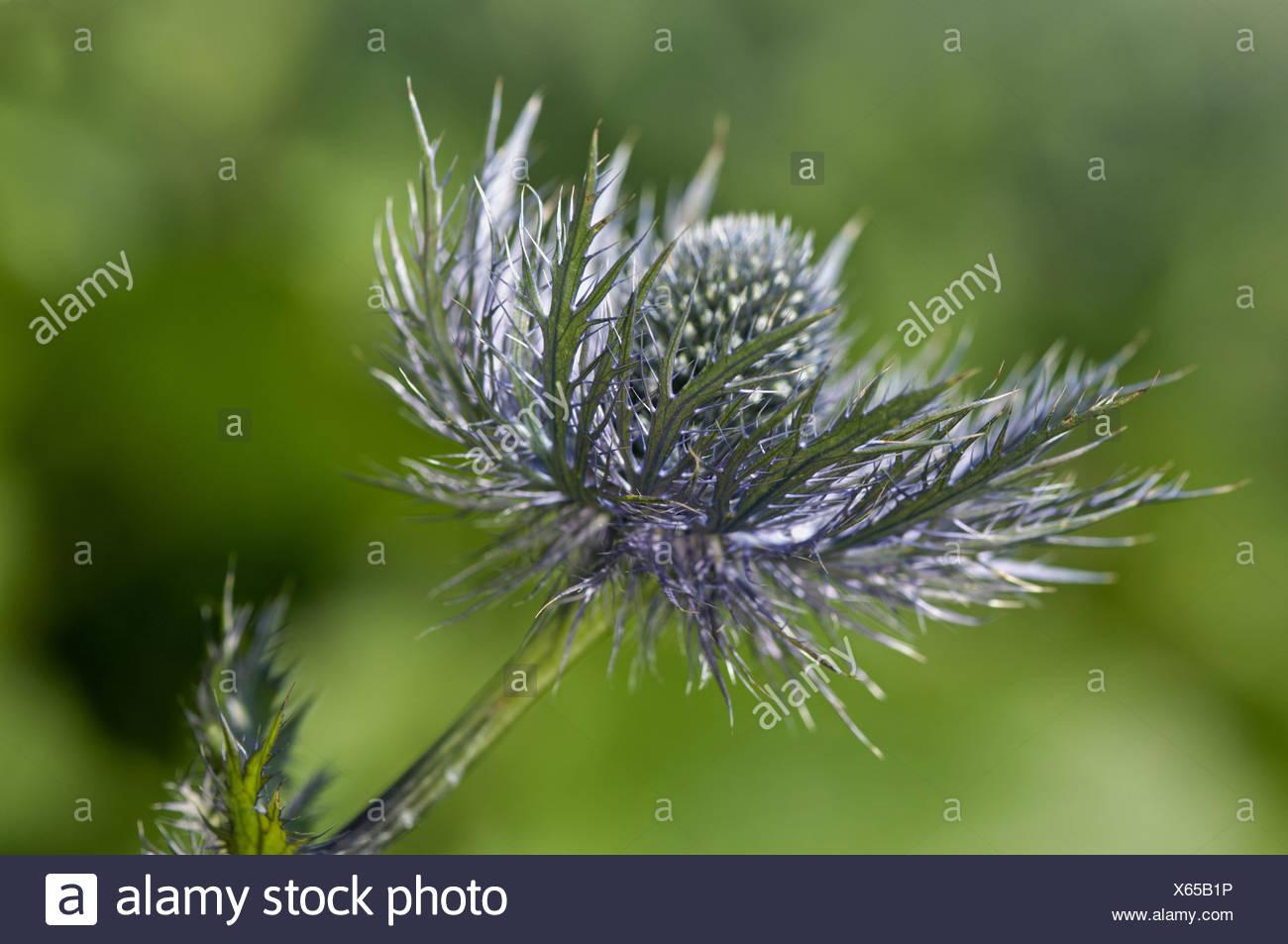 Alpine sea holly (Eryngium alpinum) Stock Photo