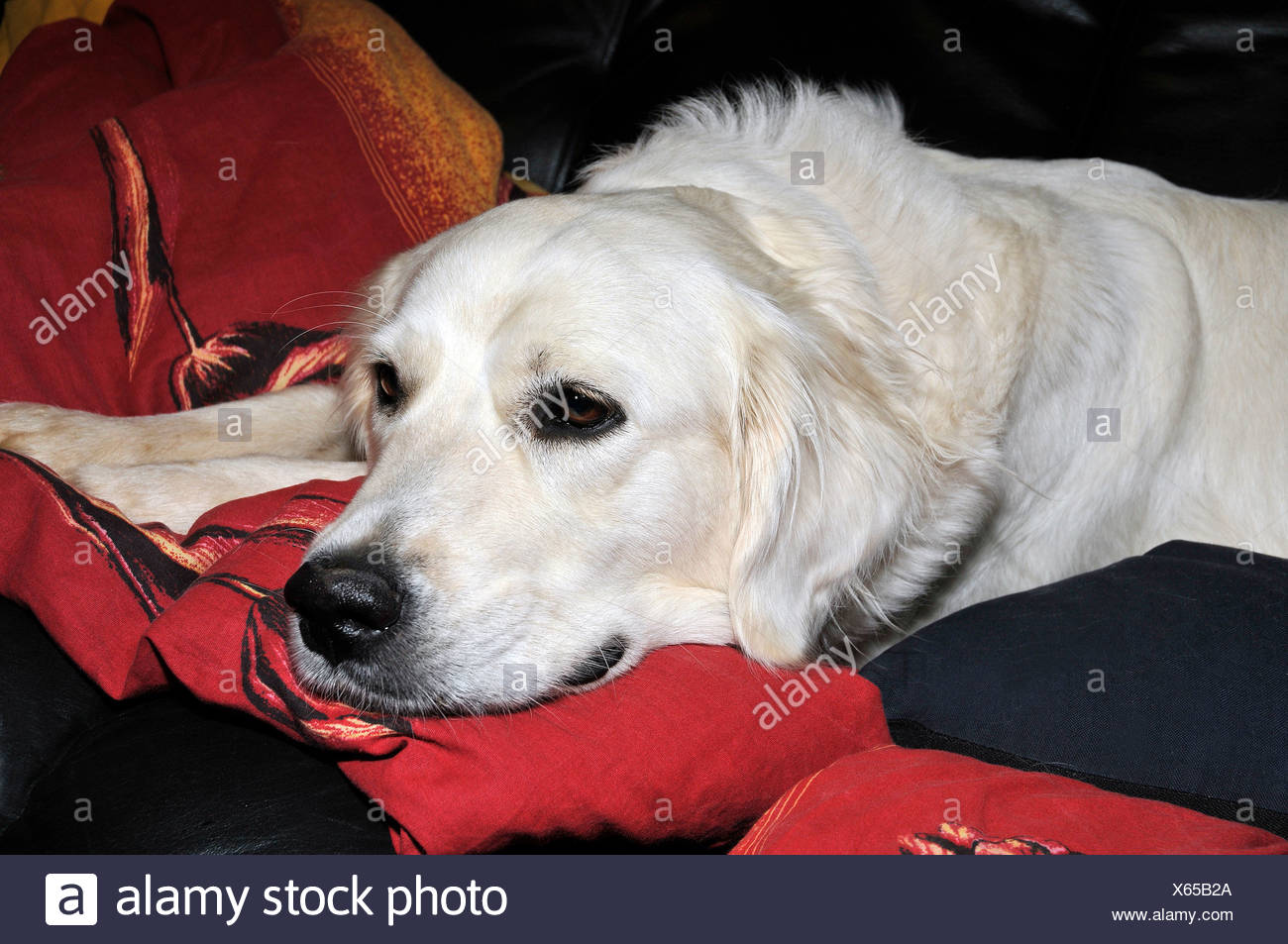Zlaty Retrivr Golden Retriever Stock Photos   Zlaty Retrivr Golden ... 2097429e4dd