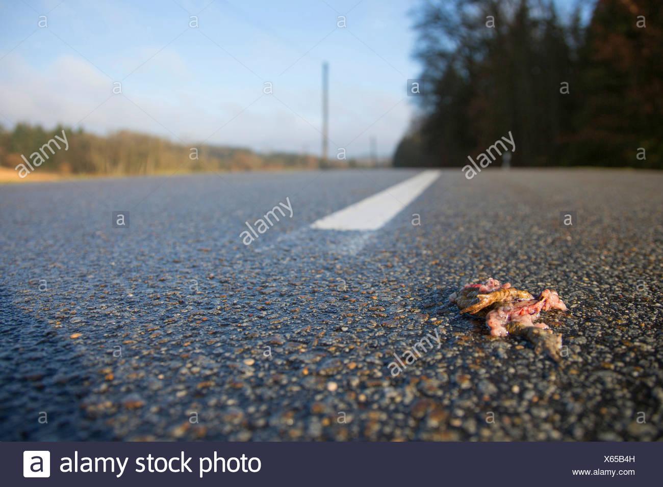 Erdkroete, Erd-Kroete (Bufo bufo), ueberfahren auf Strasse, Deutschland, Bayern, Niederbayern | European common toad (Bufo bufo) Stock Photo