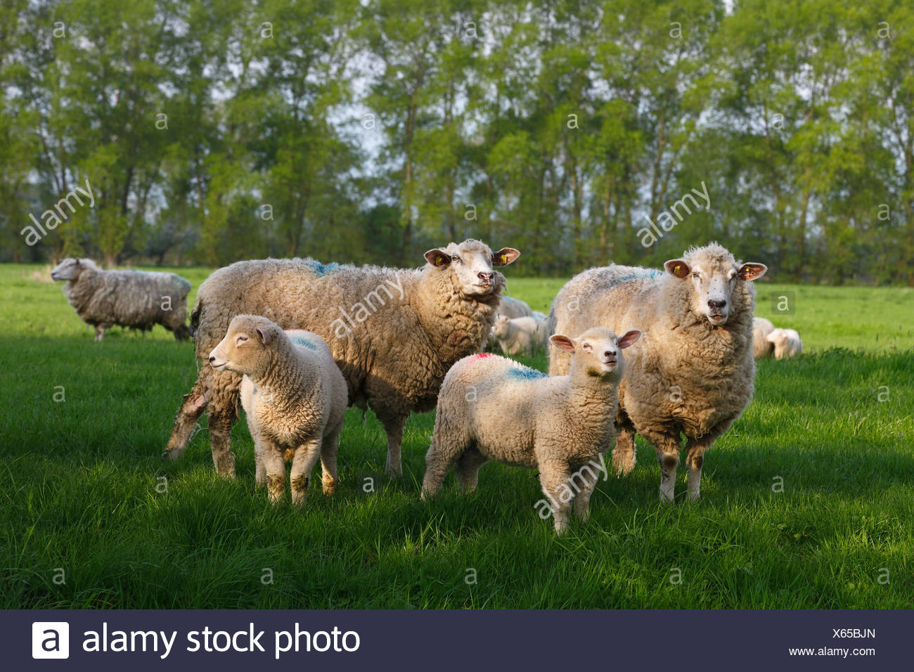Domestic sheep (Ovis orientalis aries) ewes with lambs - Stock Image