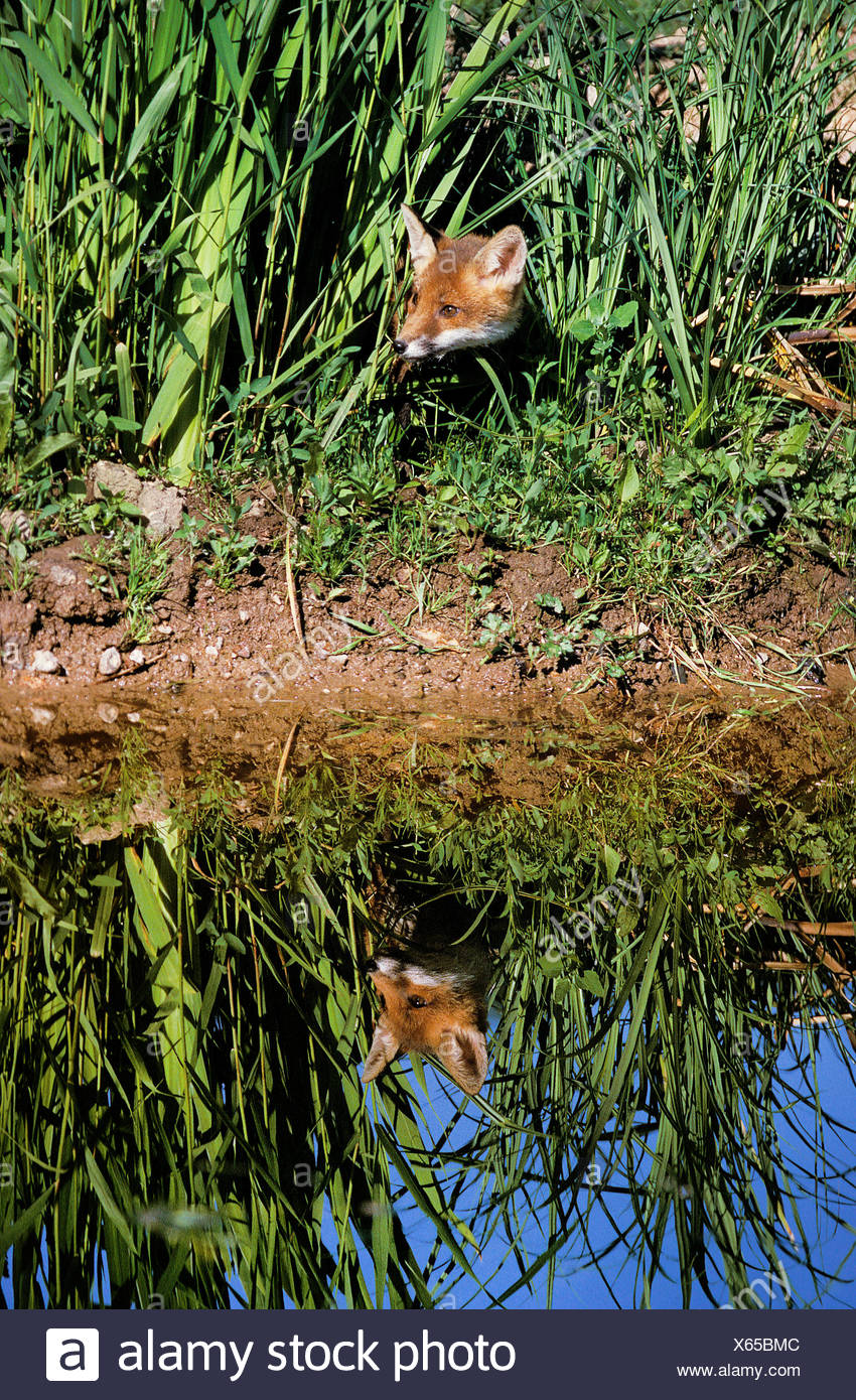 Red Fox, vulpes vulpes, Water Reflection, Normandy - Stock Image