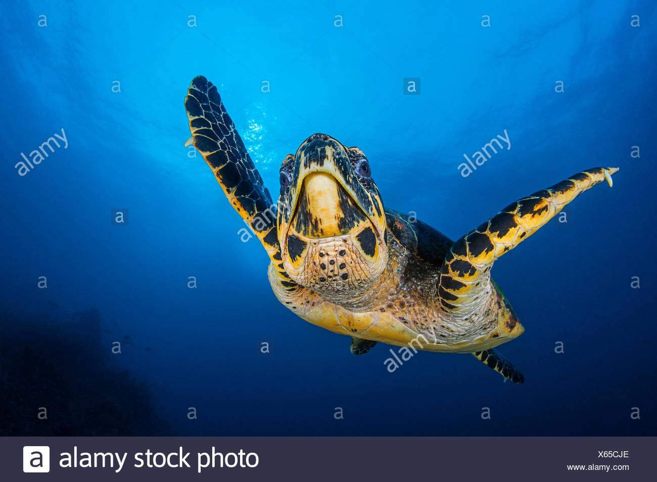 Hawksbill turtle (Eretmochelys imbricata) male swimming in open water above coral reef. Tank Rock, Fiabacet, Misool, Raja Ampat, West Papua, Indonesia. Ceram Sea, Tropical West Pacific Ocean. - Stock Image