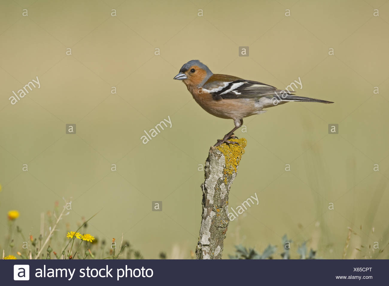 Chaffinch (Fringilla coelebs) adult male, perched on stick, Spain - Stock Image