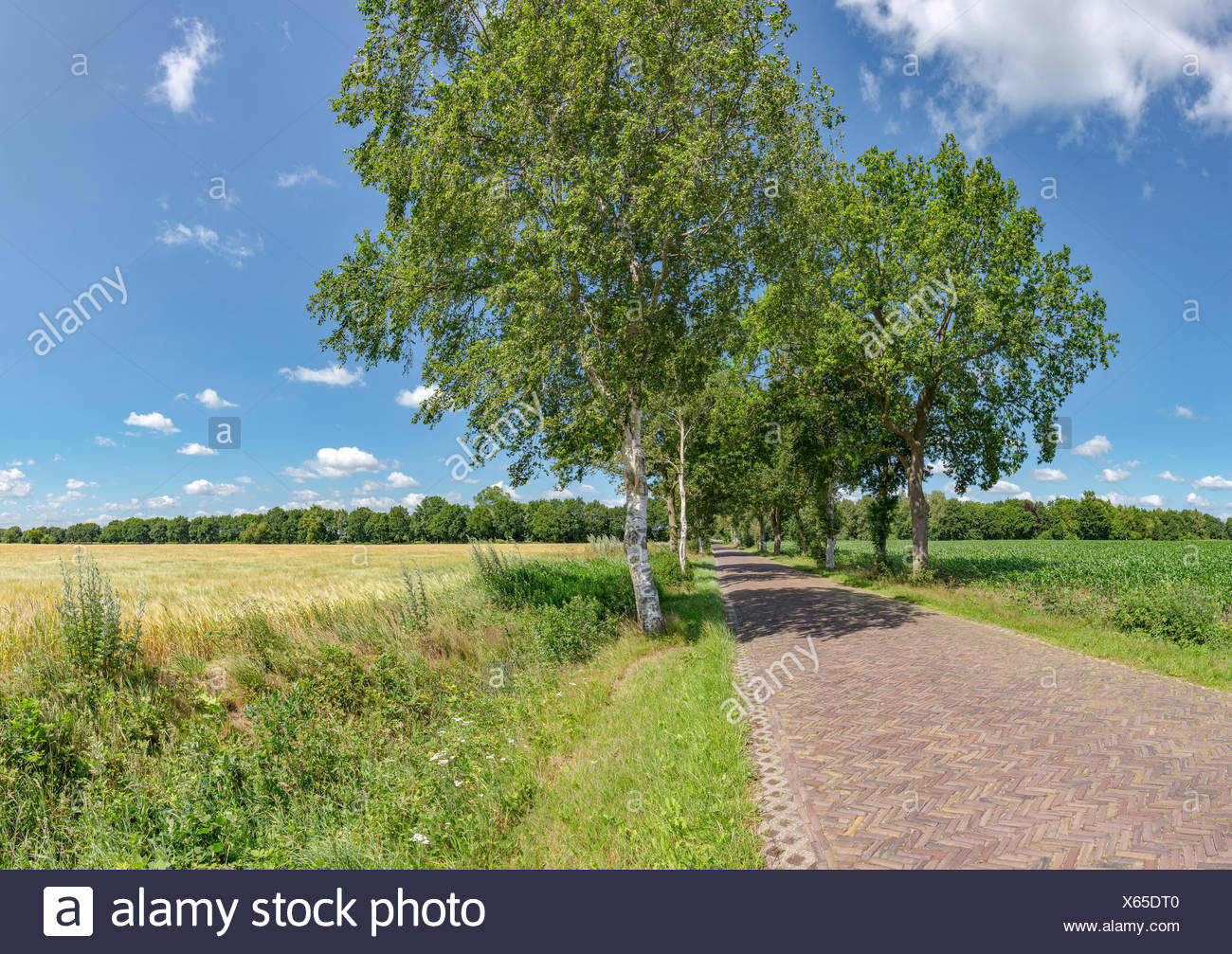 Langelo,Drenthe,Brick paved road with trees on both sides along a cornfield - Stock Image