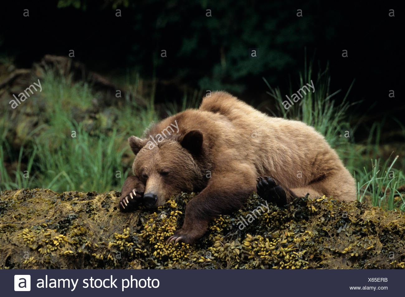Female Grizzly bear (Ursus arctos horribilis) resting, Khutzeymateen Grizzly Bear Sanctuary, British Columbia, Canada - Stock Image