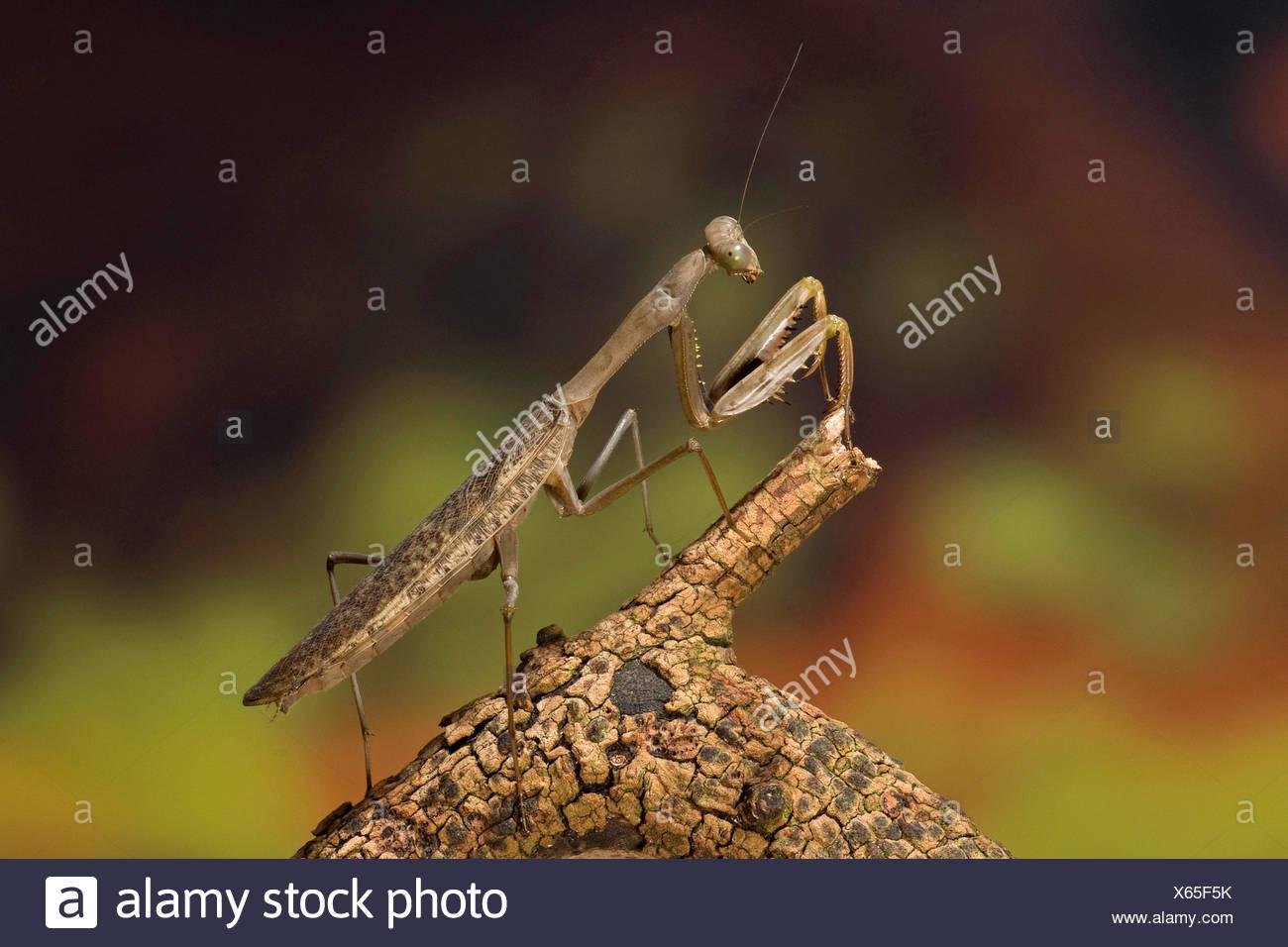 Giant Mantid (Polyspilota aeruginosa), on a branch Stock Photo