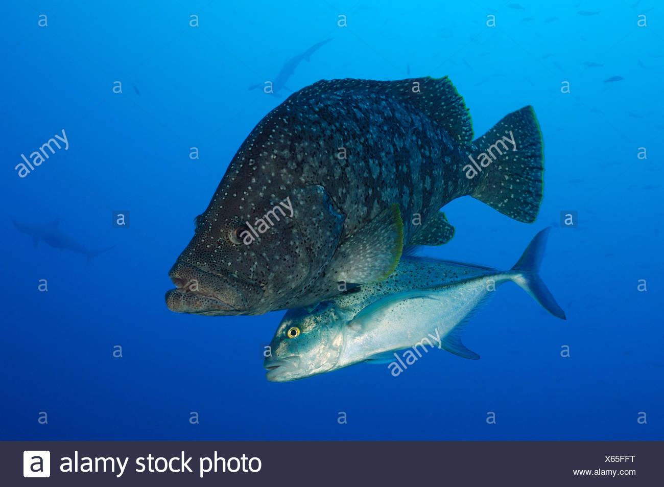 Leather Bass accompanied by Bigeye Trevally, Dermatolepis dermatolepis, Caranx sexfasciatus, Revillagigedo Islands, Mexico - Stock Image