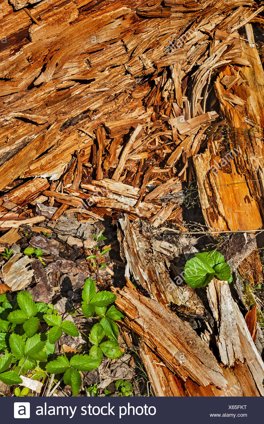 Rotten wood and green leaflets, Germany - Stock Image