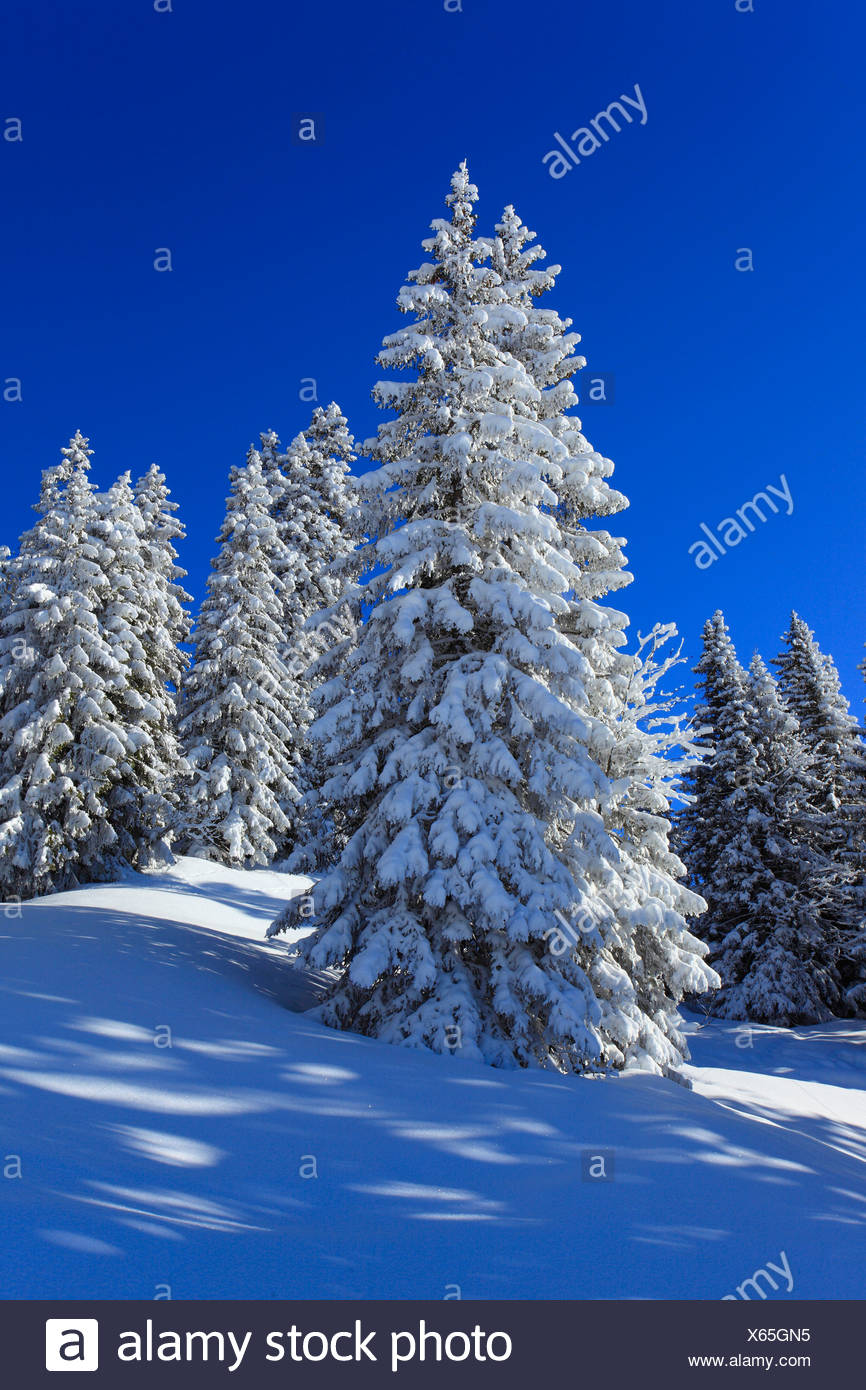 Alps, trees, spruce, spruces, sky, snow, Switzerland, Europe, sun, sunshine, fir, firs, wood, forest, winter, alpine, blue, sunn - Stock Image