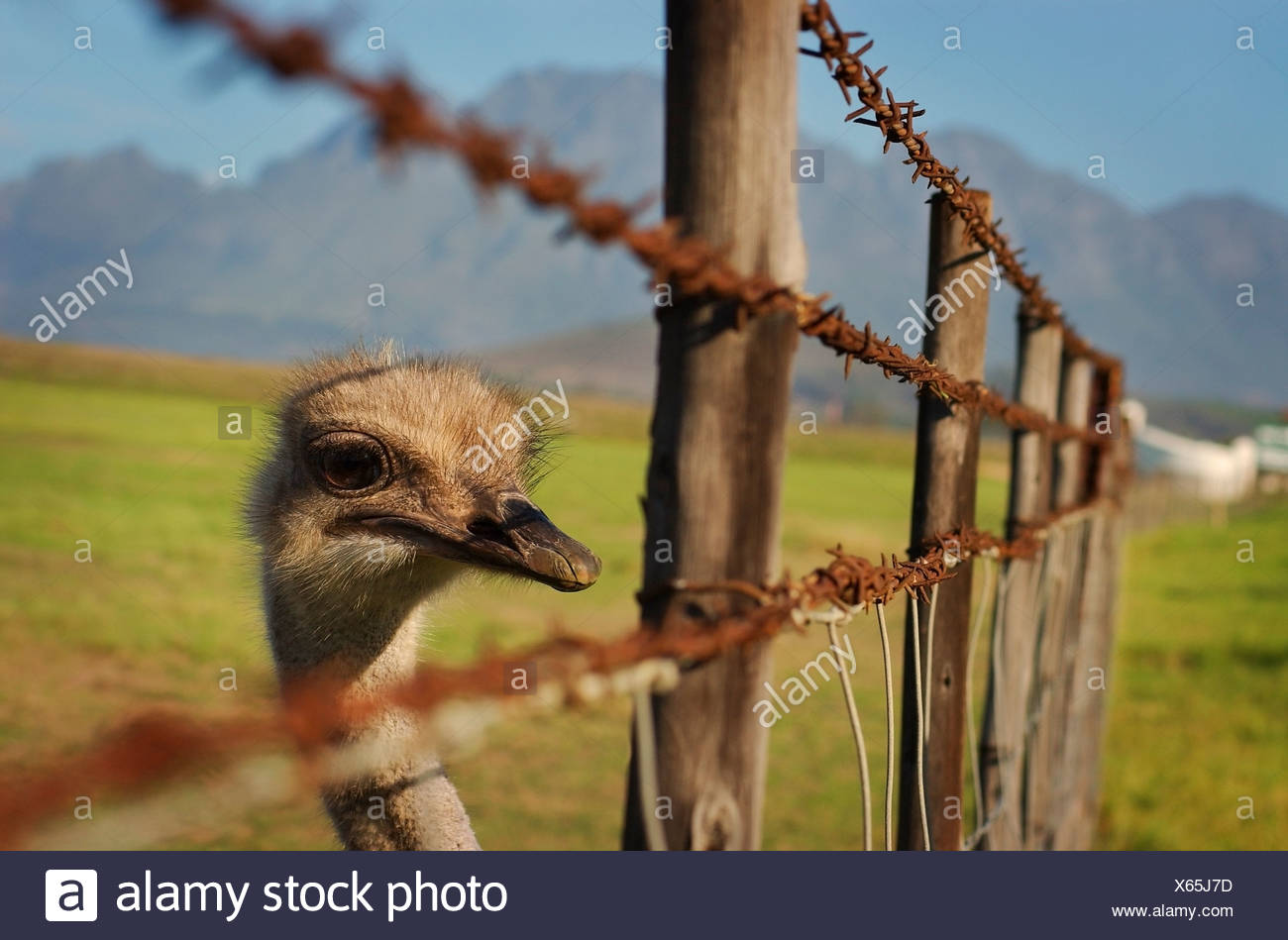 Ostrich looking through barbed fence - Stock Image