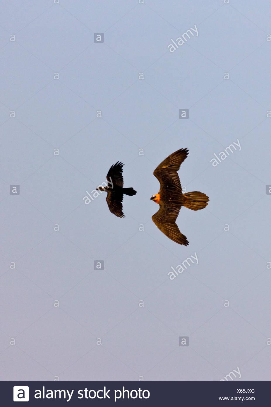 Lammergeier / Bearded Vulture (Gypaetus barbatus) chasing Thick-billed Raven (Corvus crassirostris) in flight. Simien National Park, Ethiopia, Africa. - Stock Image