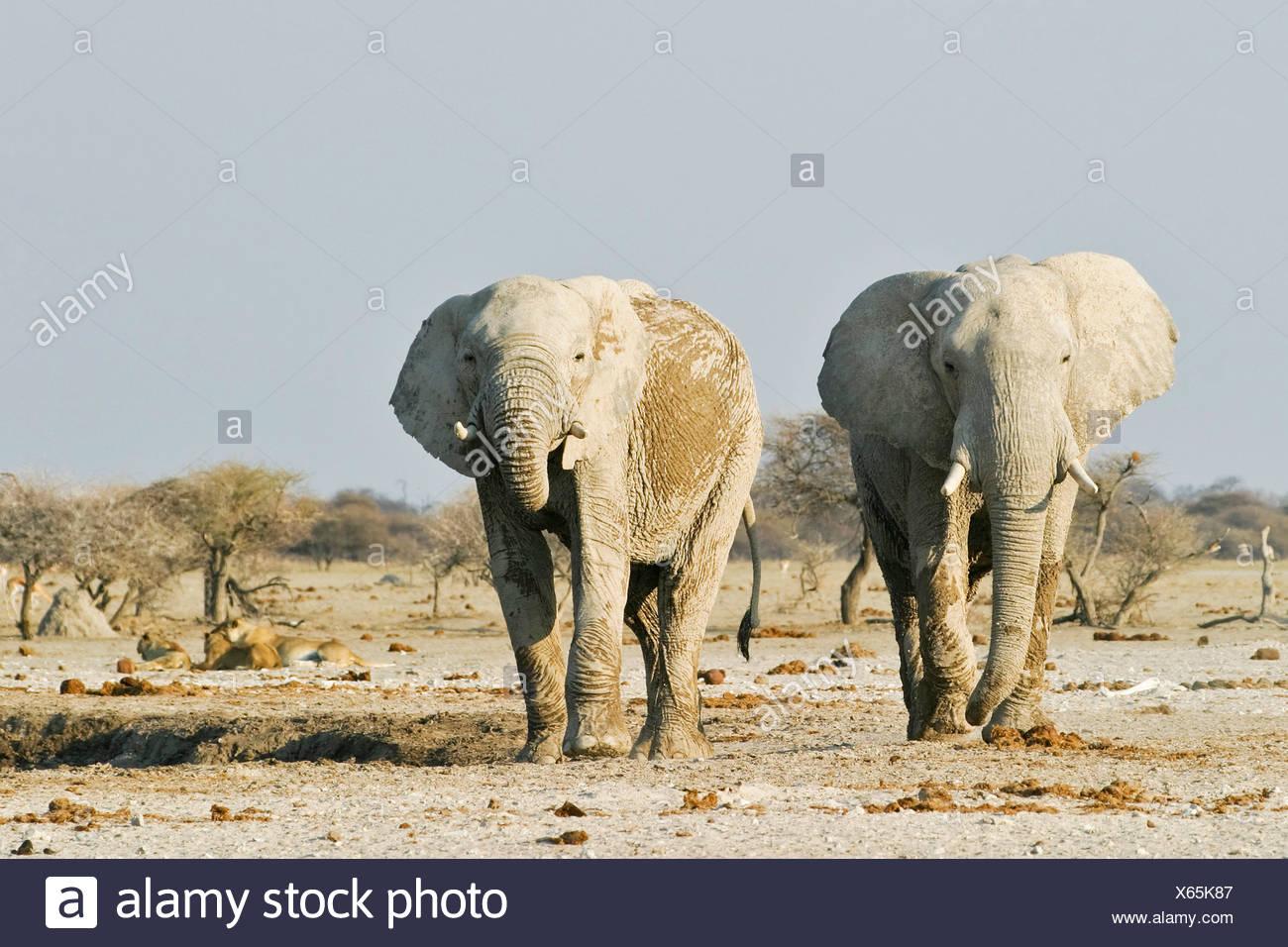 African Elephants (Loxodonta africana) and lions (Panthera leo) in the background, Nxai Pan, Makgadikgadi Pans National Park, B Stock Photo