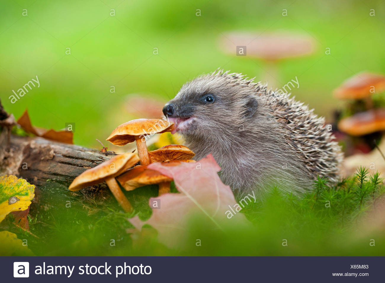 Western hedgehog, European hedgehog (Erinaceus europaeus), eating a mushroom, Germany, Rhineland-Palatinate - Stock Image