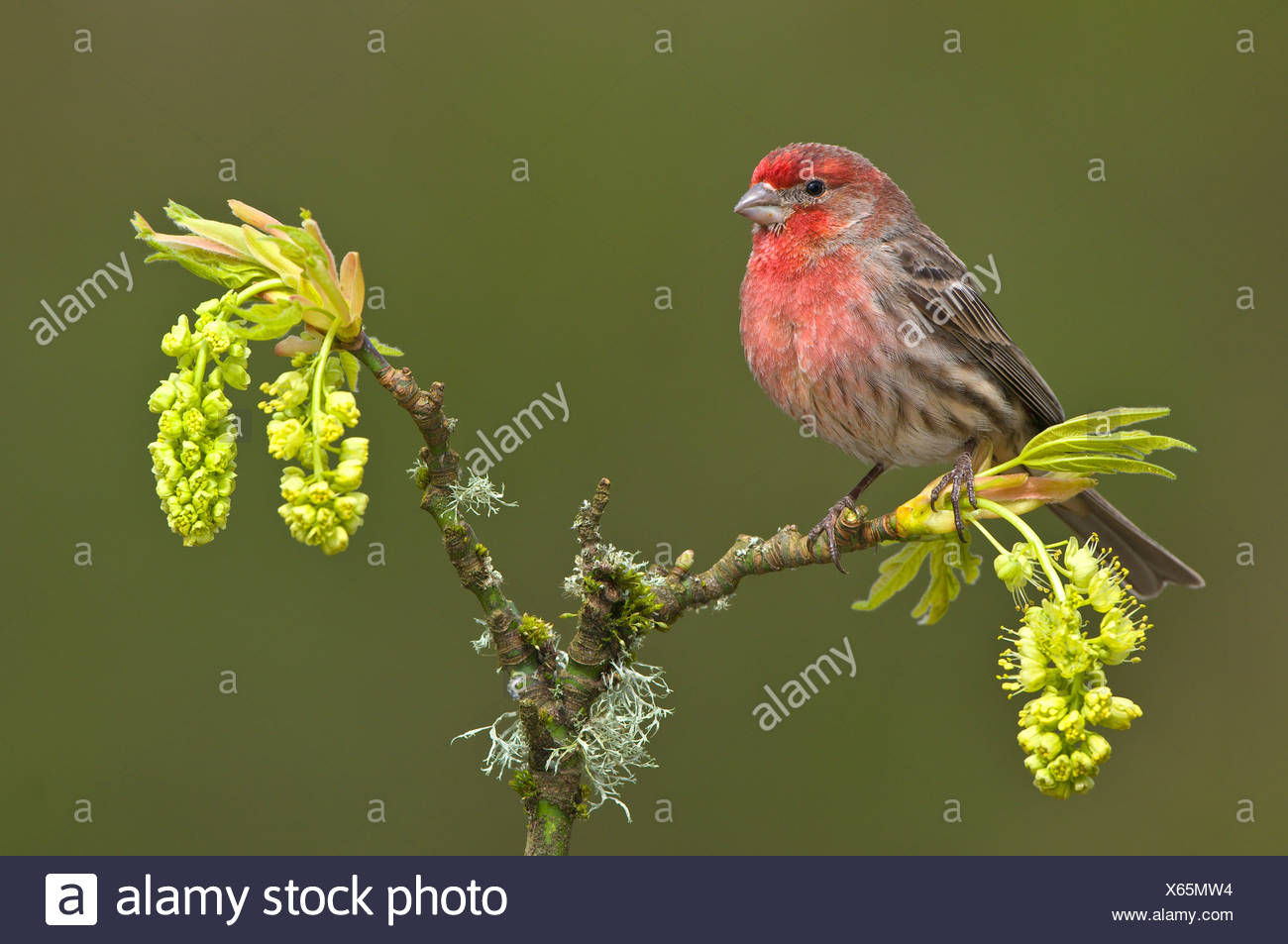 House finch (Carpodacus mexicanus) on budding maple tree branch, Victoria, Vancouver Island, British Columbia, Canada - Stock Image