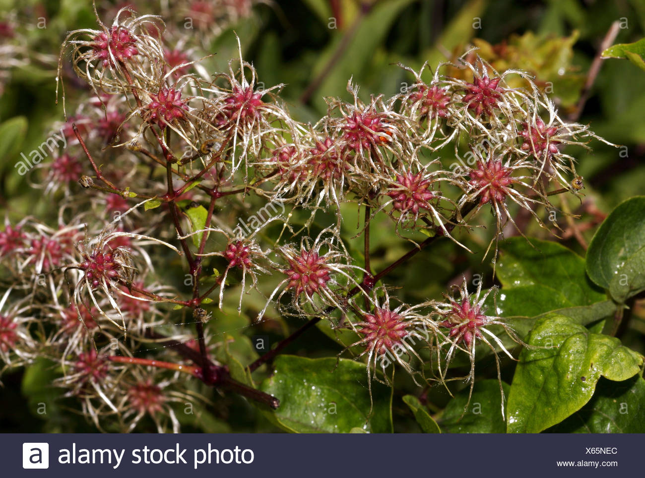 botany, Clematis, 'Clematis vitalba', infructescence, Leitha mountains, Austria, Additional-Rights-Clearance-Info-Not-Available - Stock Image