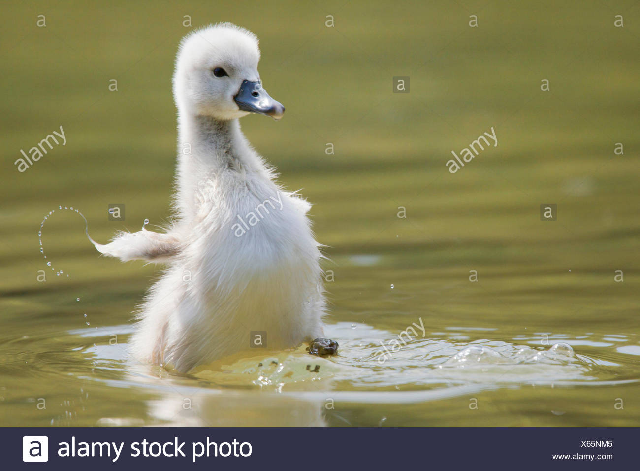 mute swan (Cygnus olor), chick, Austria, Burgenland Stock Photo