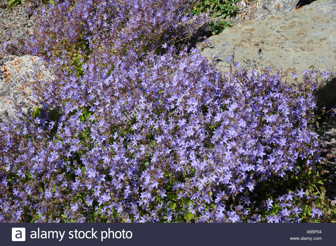 Adriatic bellflower - Stock Image
