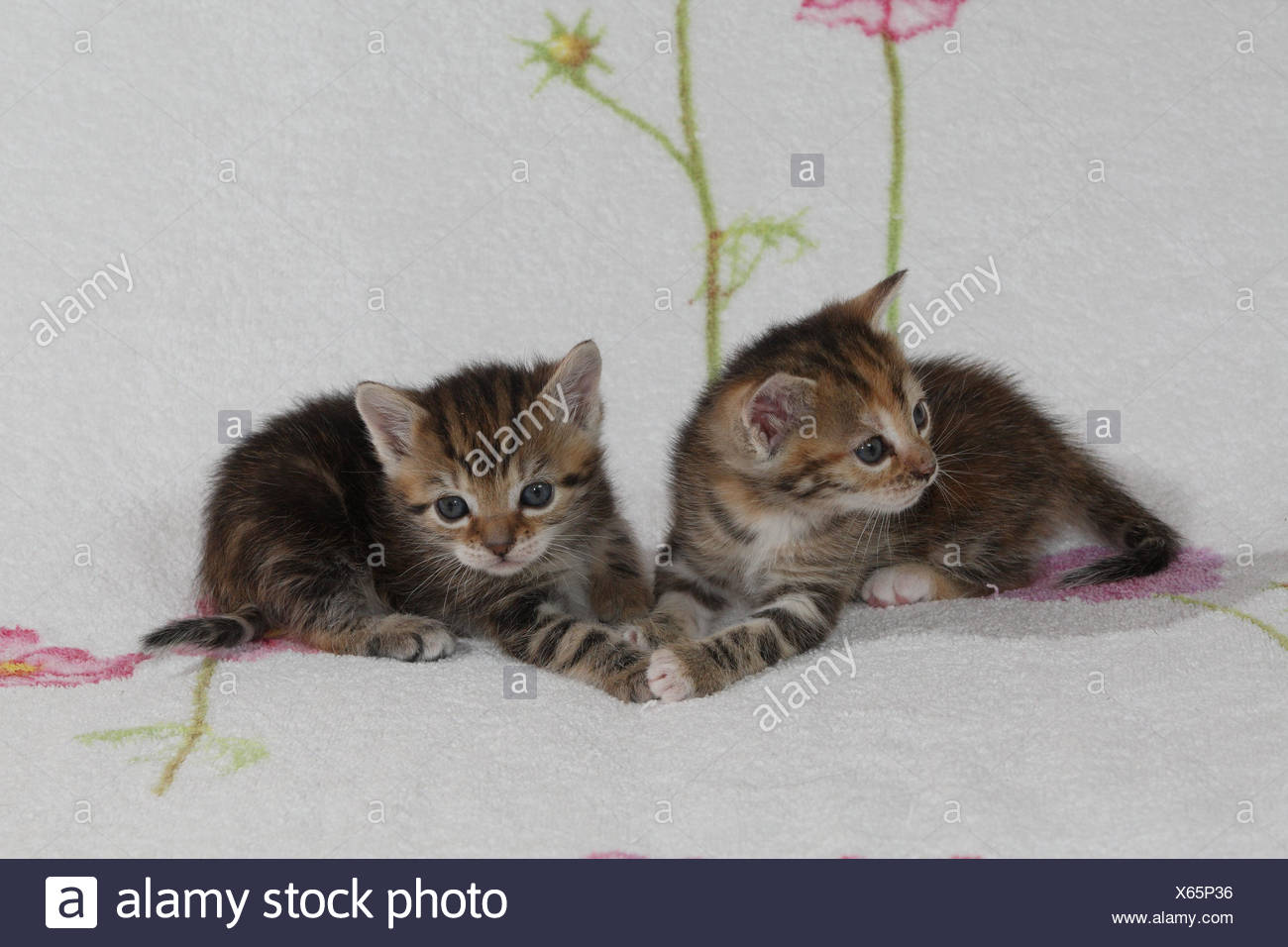 Cats, young, lie, together, bed, animals, mammals, pets, small cats, Felidae, domesticates, house cat, young animal, kitten, two, siblings, small, awkward, clumsy, sweetly, touch, striped, cohesion, love, suture, togetherness, young animals, animal babies, inside, Stock Photo