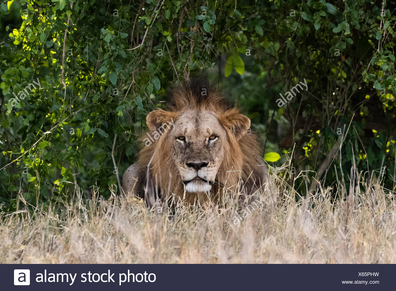 A fully grown adult lion, Panthera leo, looking into the camera. - Stock Image