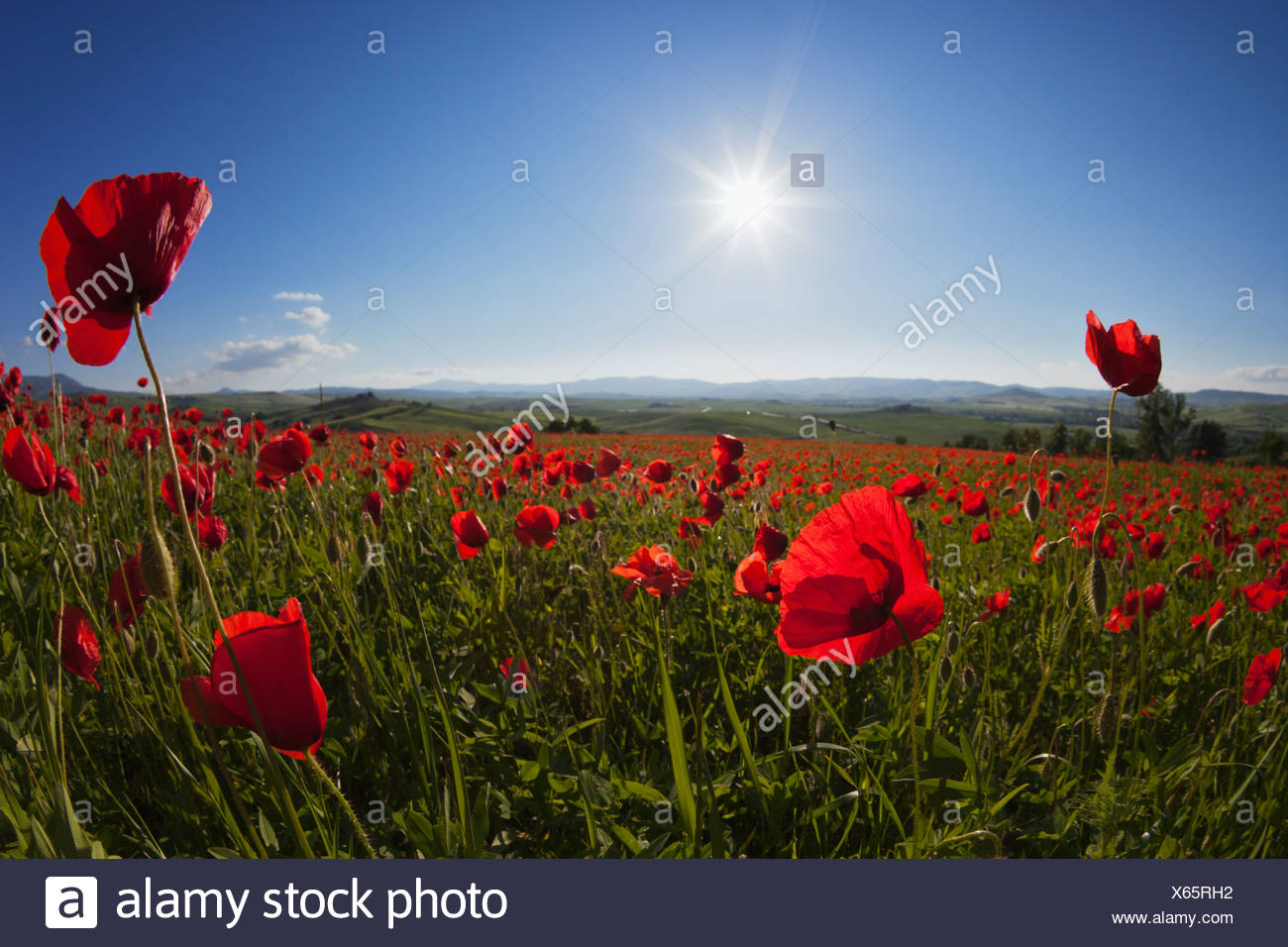 Italy, Tuscany, Crete, View of red poppy field at sunrise - Stock Image