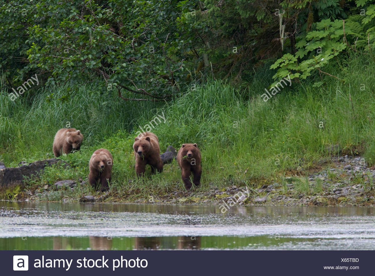 Brown bear sow with three yearling cubs at shoreline of Prince William Sound, Southcentral Alaska, Summer Stock Photo