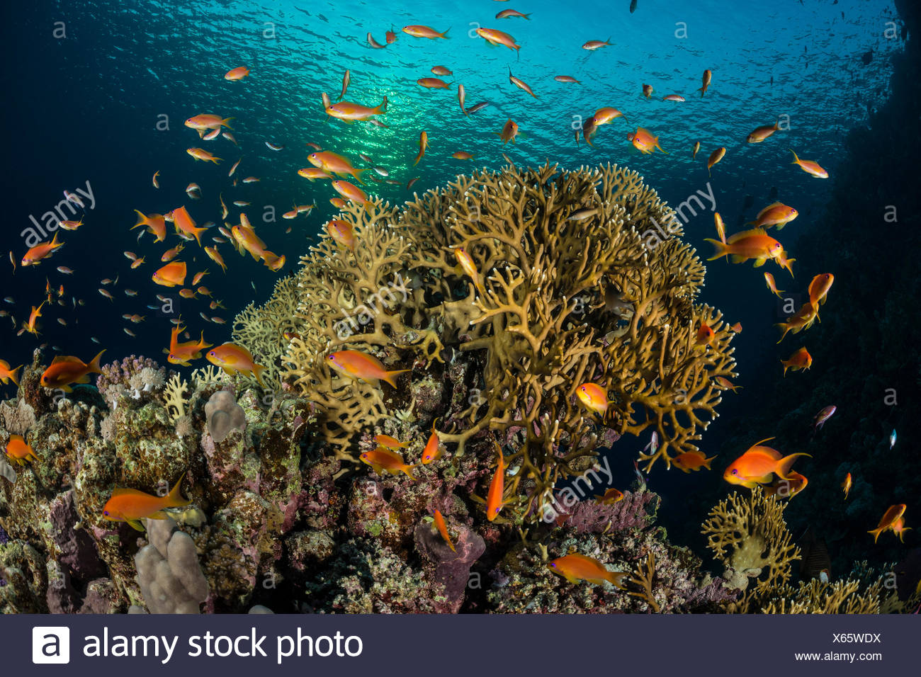 Net Fire Coral, Millepora dichotoma, Marsa Alam, Red Sea, Egypt - Stock Image