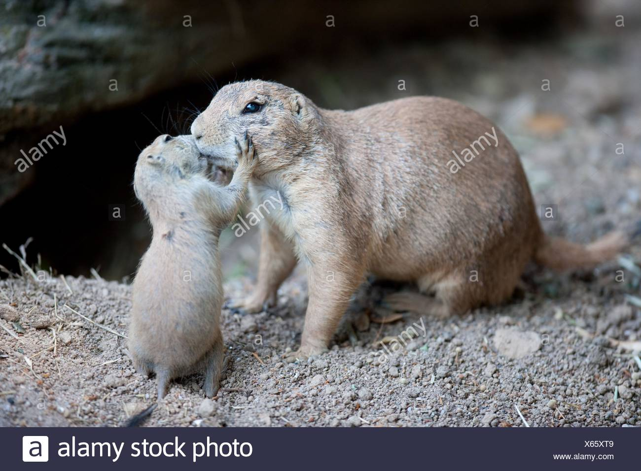 prairie dogs - Stock Image