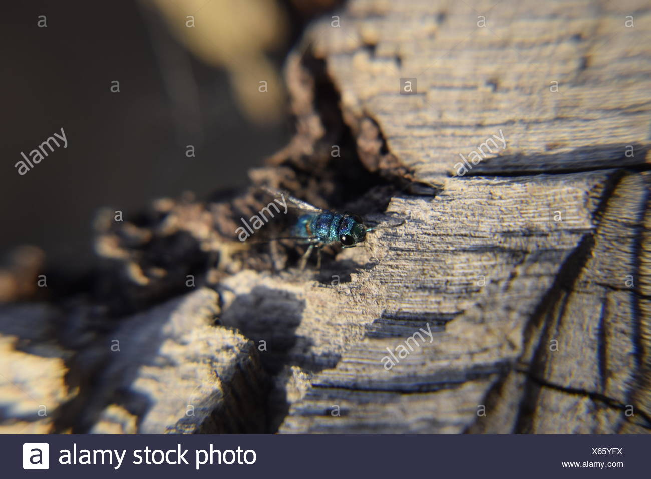 Ruby - tailed wasp - Stock Image