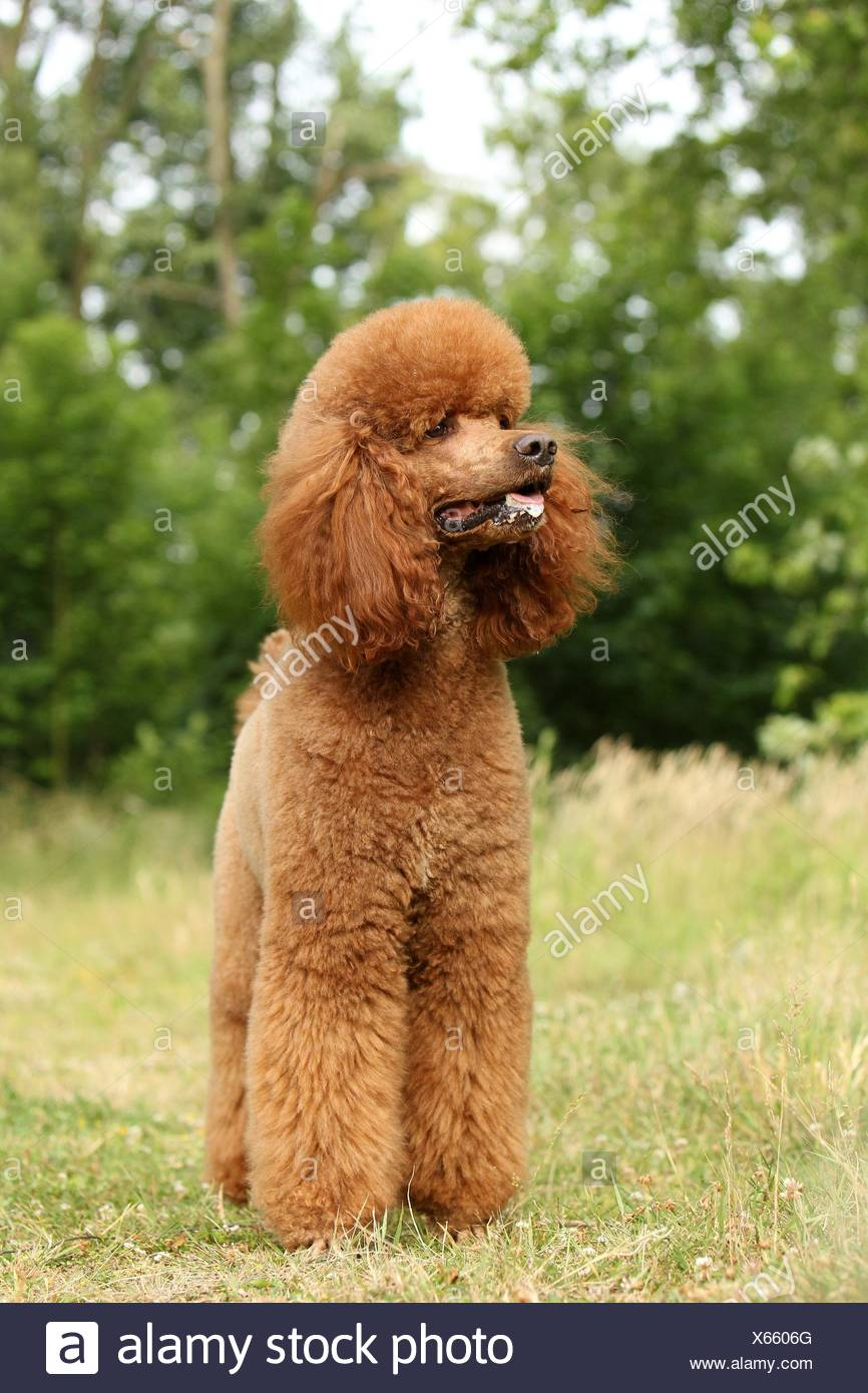 Giant Poodle Stock Photo