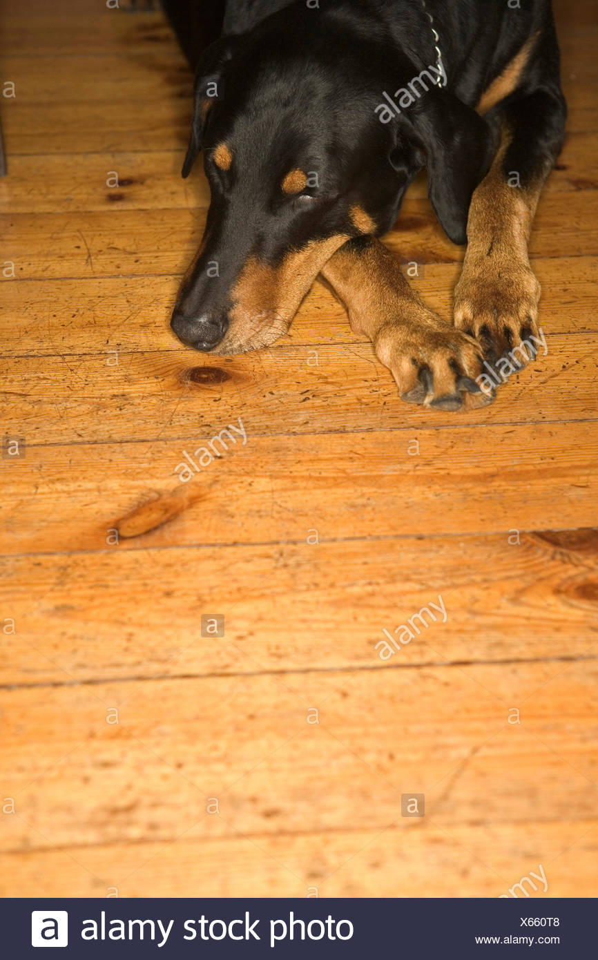 Close Up of Sleeping Dobermann - Stock Image