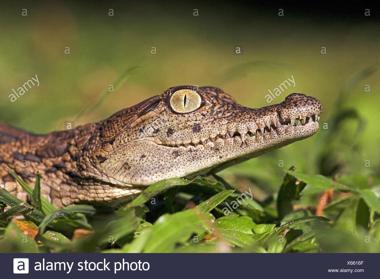 Portrait of a nile crocodile hatchling - Stock Image