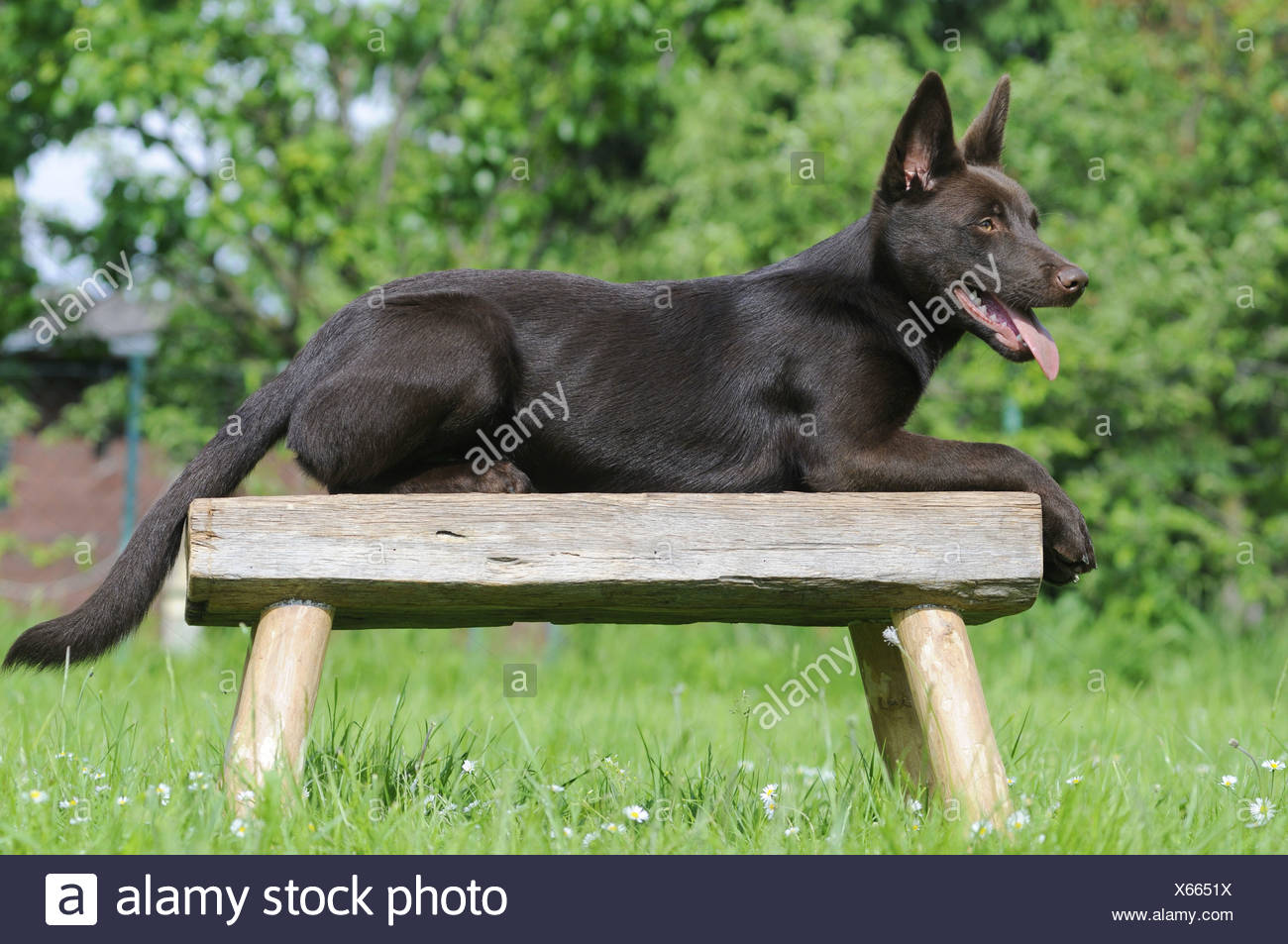 Super Australian Kelpie Chocolate Coloured Lying On A Wooden Pdpeps Interior Chair Design Pdpepsorg