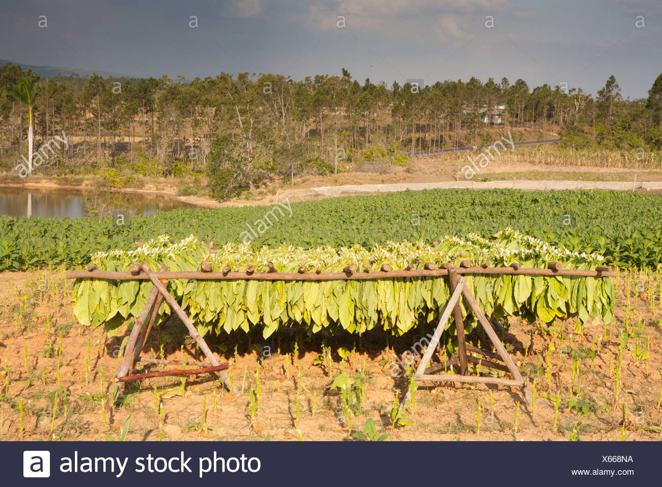PINAR DEL RIO: VINALES VALLEY TOBACCO FARM WITH TOBACCO DRYING ON RACK - Stock Image