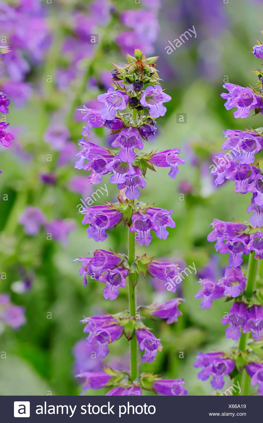 Dragonmouth or Pyrenean Dead-nettle (Horminum pyrenaicum), stems with flowers, occurrence in the Alps and Pyrenees - Stock Image