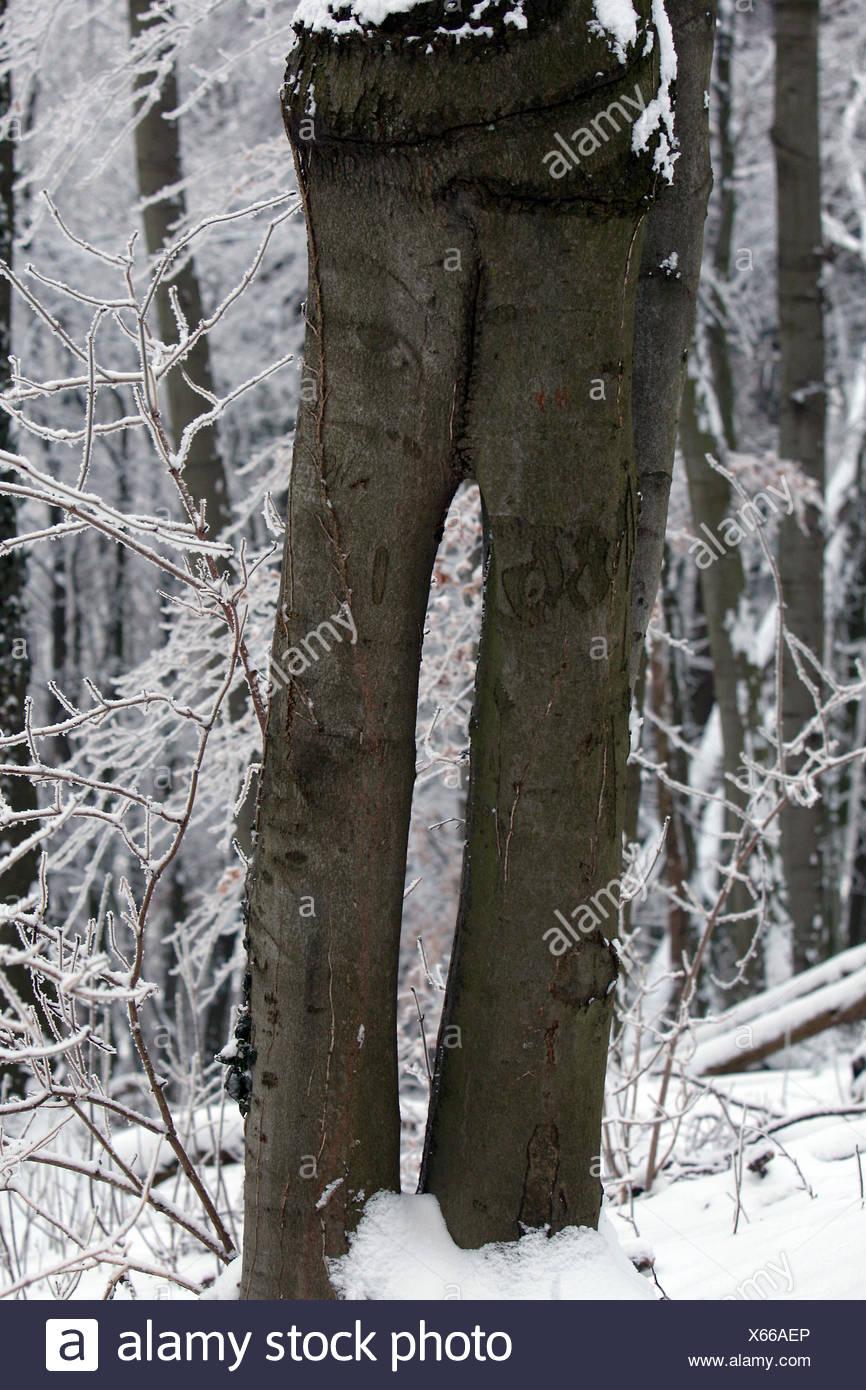Shared Tree like a trousers - two pentlegs Stock Photo