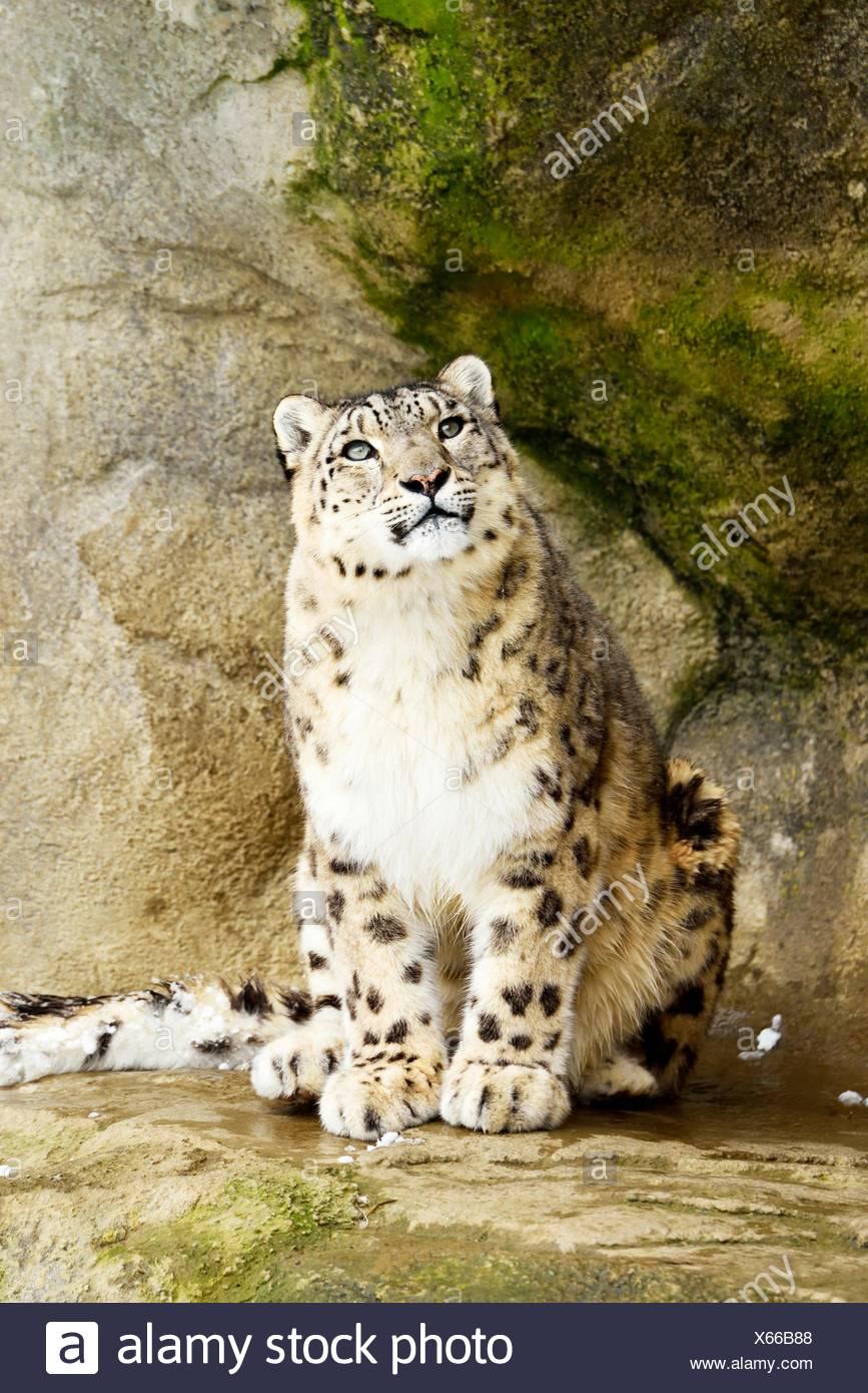 Snow Leopard (Panthera uncia), adult sitting on rock, captive, Switzerland - Stock Image