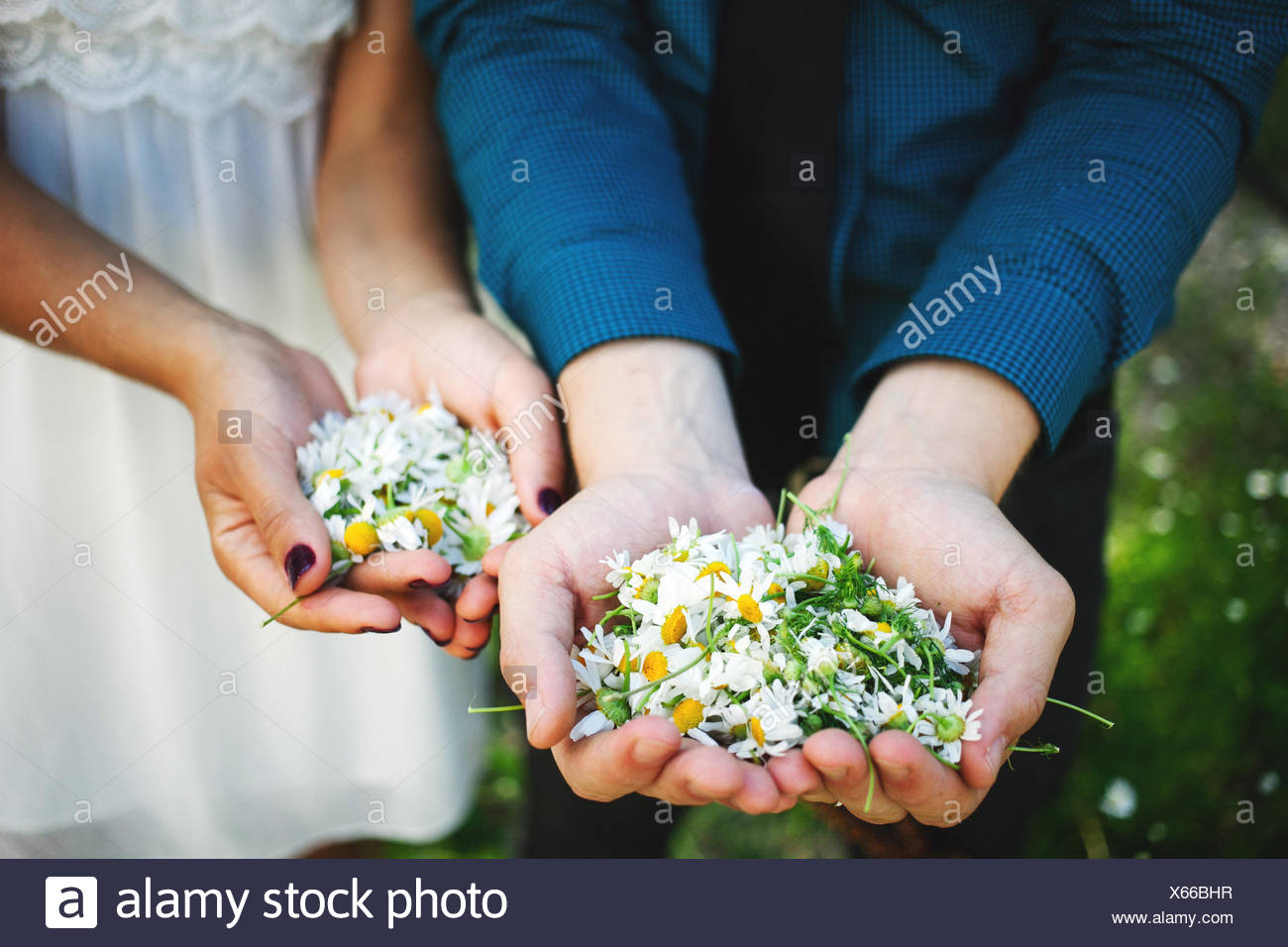 USA, Minnesota, Hennepin County, Minneapolis, Close-up view of hands of young couple, each holding handful of chamomile flowers - Stock Image