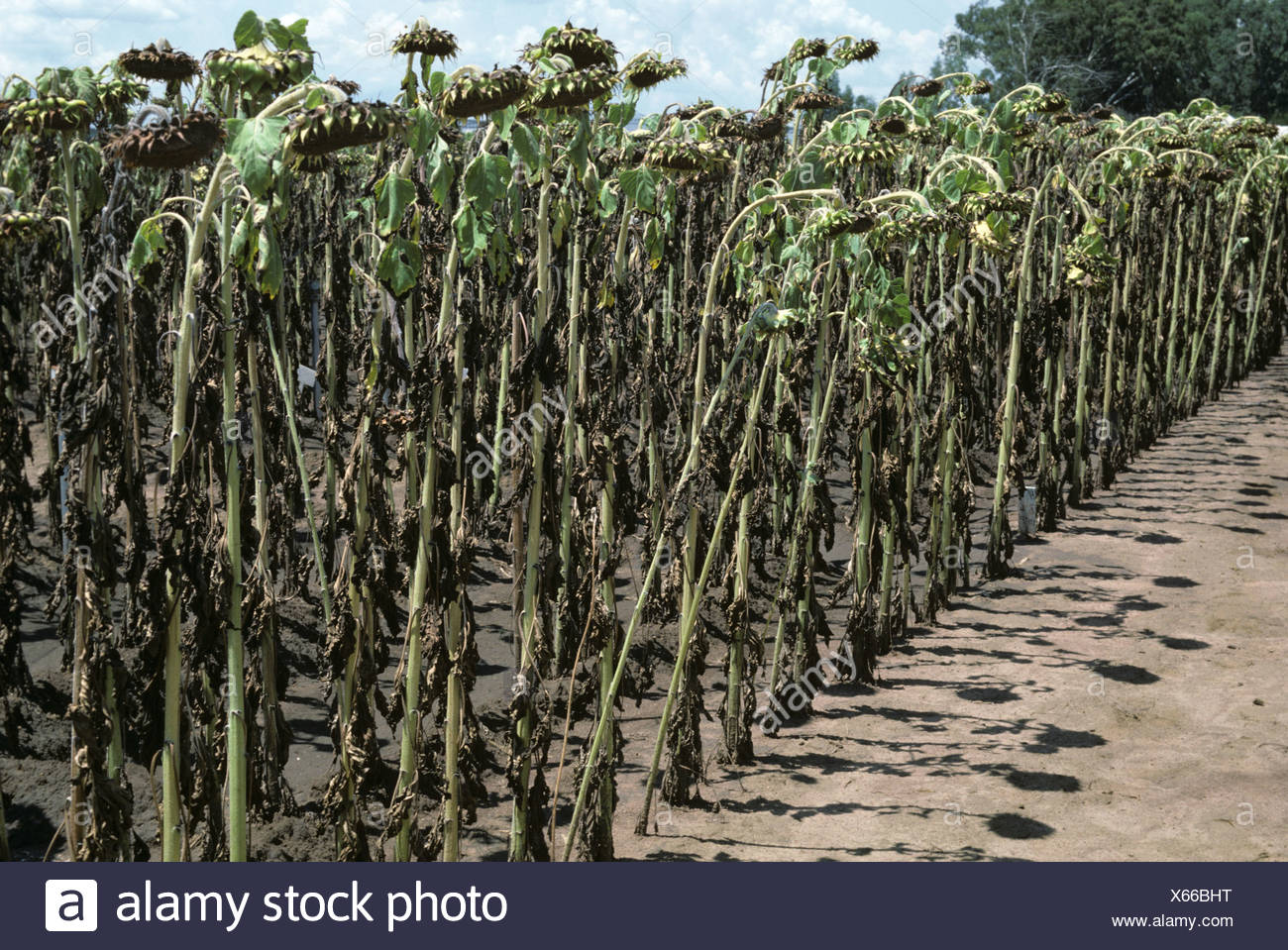 Sunflower crop defoliated and severely affected by leaf spot (Alternaria spp.), South Africa - Stock Image